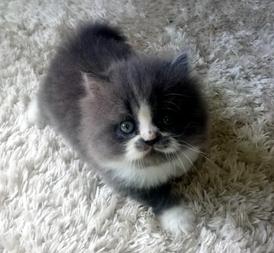 Scotch cat for sale