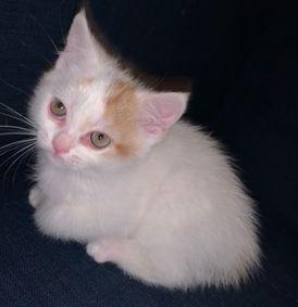 قط شيرازي ابيض -قط بريطاني شيرازي