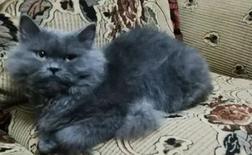 قط شيرازي ذكر للتبني