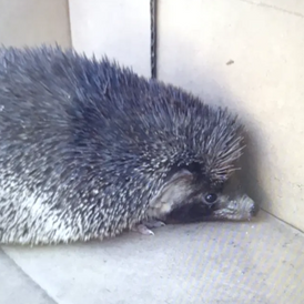 Small hedgehog for sale 6