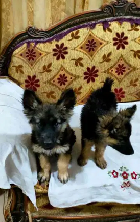 كلاب جيرمان للبيع