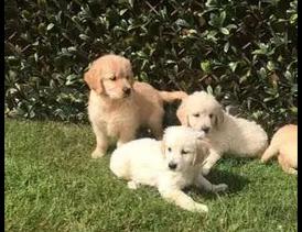 Golden Retriever dogs for sale9