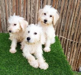 Puppies Labradoodles