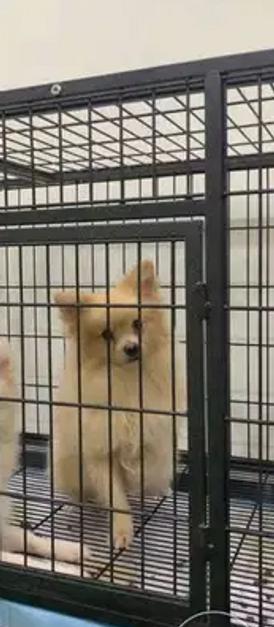 كلب بومارين لعوب