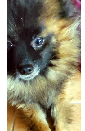 Pomeranian Jack dog for sale