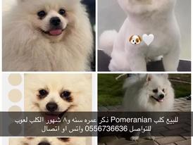 كلب بيميريان للبيع