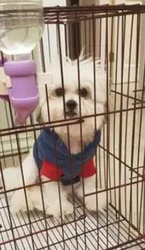 كلب شيتزو على جريفون لي البيع