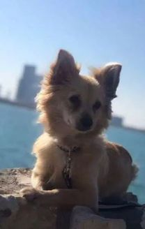 كلب شيواوا ميكس للبيع