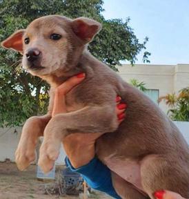 كلب لابوردر كروس للبيع