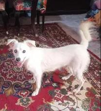 كلب لولو فرنساوي