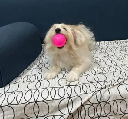 كلب مالتيز لعوب جدا