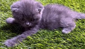 Scottish kitten male
