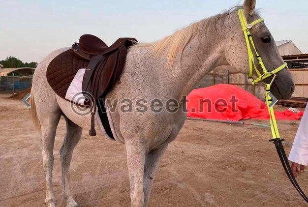 لبيع حصان خصي عمره 10 سنين