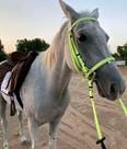 لبيع حصان خصي عمره 10 سنين 1