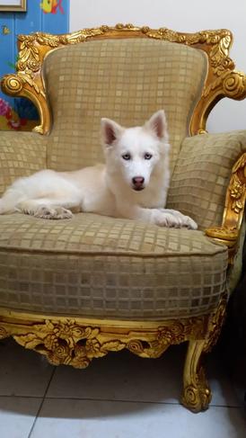 For sale female Husky