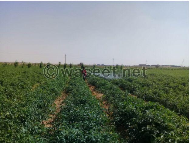 للبيع ارض زراعية 63 فدان بطامية الفيوم ملك مسجل علي طريق عمومي