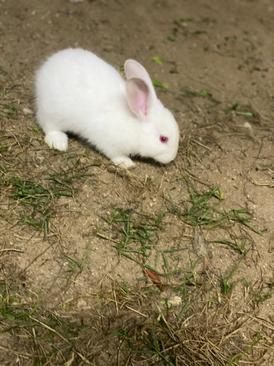 للبيع ارنب ذكر