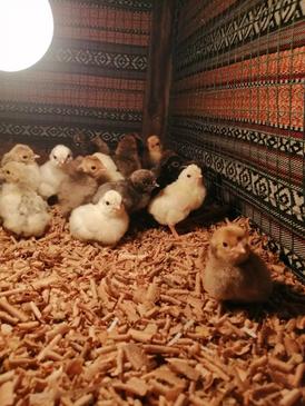 للبيع النوع صيصان دجاج