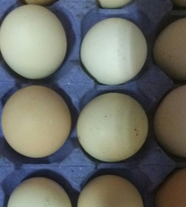 للبيع بيض دجاج أمريكي