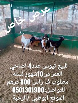 For sale goats sacrifices