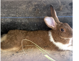 For sale three male and two female rabbits 9
