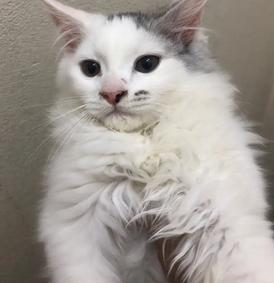 للبيع ثلاث قطط ذكرين وانثى