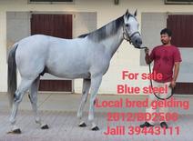للبيع حصان عربى