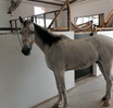 للبيع حصان عربي هادئ