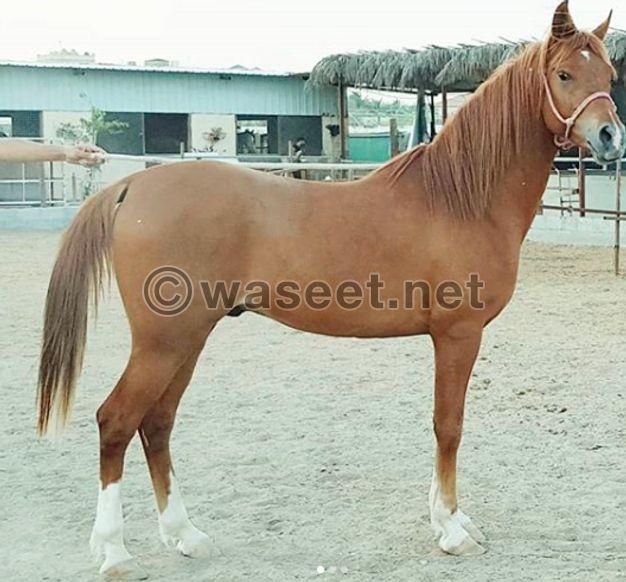 للبيع حصان عربي واهو