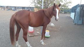 للبيع حصان فحل 7