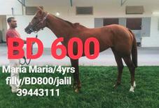 للبيع حصان