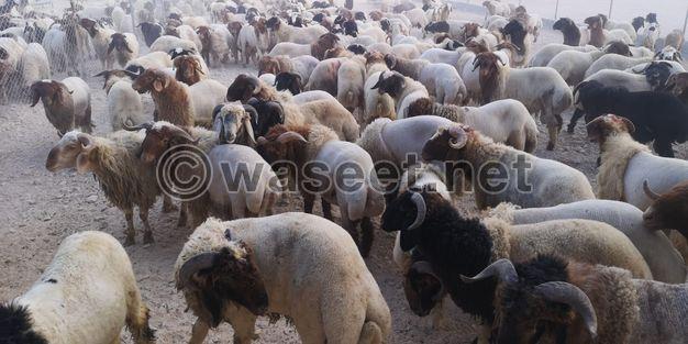 للبيع خرفان ذبايح سورية