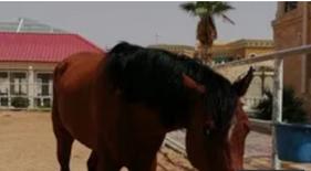 للبيع خيل عربي اصيل