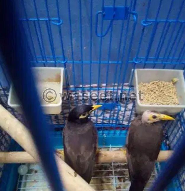 للبيع طيور مينا ذكر و انثى