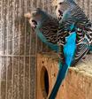 للبيع طيور هند انجليزي