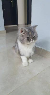للبيع قطة بيكي فيس