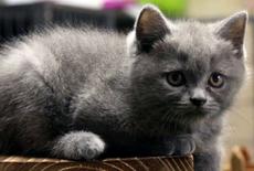 للبيع قطة سكوتش ستريت انثى