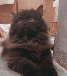 للبيع قطة شيرازيه انثى