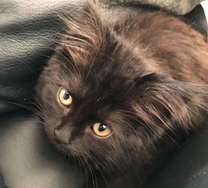 للبيع قطة شيرازي هيمالايا