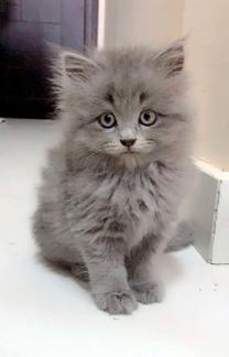 للبيع قطة صغيرة بريطانية