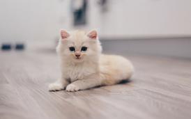 للبيع قطة عمرها شهرين ونصف تست