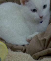 للبيع قطة فرنسي