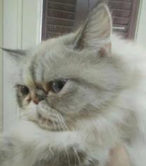 للبيع قطة هيمالايا