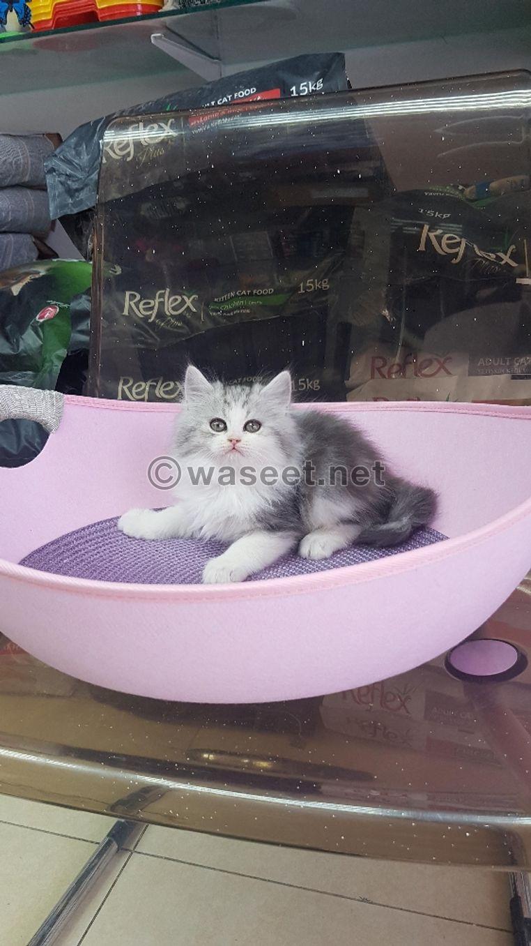 للبيع قطط شيرازى