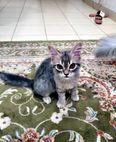 للبيع قطط شيرازي 1
