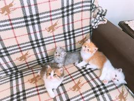 للبيع قطط شيرازي