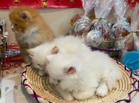 للبيع قطط صغيرة