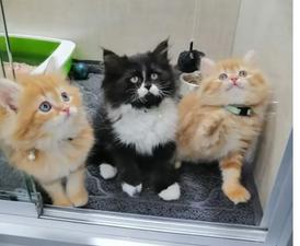 للبيع قطط هاف