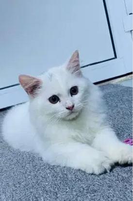 للبيع قطط 2