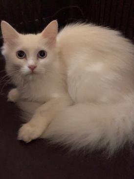 للبيع قطه اصليه ٣ شهور ونصف